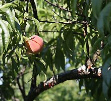 peach, one of the harvest   by RudeN901