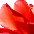 Rose Petals by Keren Smithies