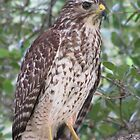 Red Shouldered Hawk of Boca Raton  by paulscar