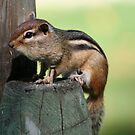Cute Chipmunk by Teresa Zieba
