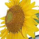 yellow sunflower art by Sheila McCrea