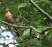 Moma Cardinal by kimbarose