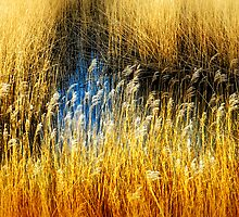 Reed Beds Southwold, Suffolk. by Simon Duckworth