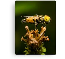 Yellow-eyed Hoverfly Canvas Print