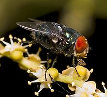 Bluebottle Fly on Palm Flower by Frank Yuwono