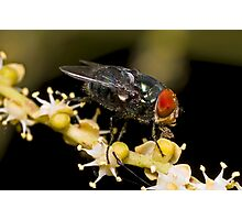 Bluebottle Fly on Palm Flower Photographic Print