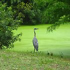 Majestic Great Blue Heron by nauticalelf
