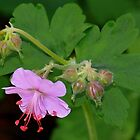 Wild Cranesbill Flowers by Debbie Oppermann