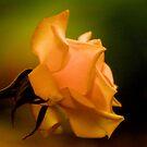 THE PEACH ROSE by Magriet Meintjes