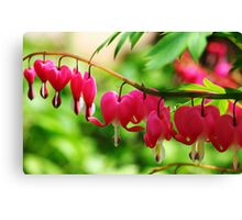 Old Fashioned Bleeding Hearts Canvas Print