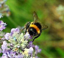Bumblebee on Lavender by photobymdavey