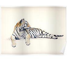 Siberian / Bengal Tiger Poster