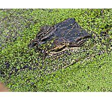 Gator Closeup Photographic Print