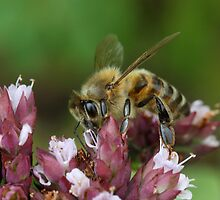 honeybee on oregano  by mimbravastudio