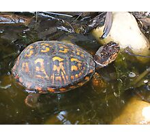 Eastern box turtle from a childs view color photo  Photographic Print