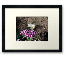 Butterfly on Sweet Williams Framed Print