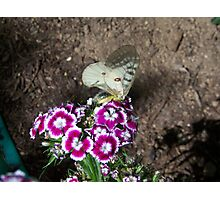 Butterfly on Sweet Williams Photographic Print
