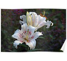 White Star Gazer Lilies Poster