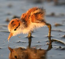 Baby Comb-crested Jacana by Stuart Cooney