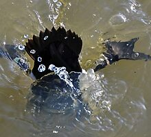 Coot Diving at Radipole,Weymouth. UK by lynn carter