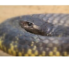 Tiger snake Photographic Print