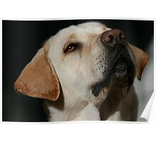 Bailey the Lab Poster
