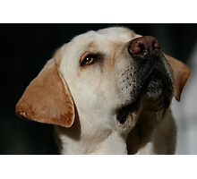 Bailey the Lab Photographic Print