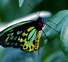 Cairns Birdwing by James Price