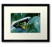 Cairns Birdwing Framed Print