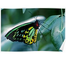 Cairns Birdwing Poster
