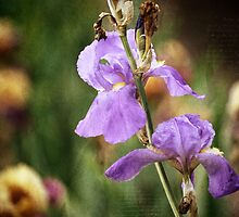 Antiqued Iris by Alison Cornford-Matheson