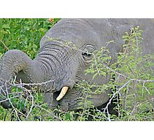 Elephant Hunger - Wildlife Happiness  Photographic Print