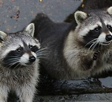 racoons by TintaDesign