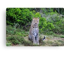 Leopard in South Africa Canvas Print