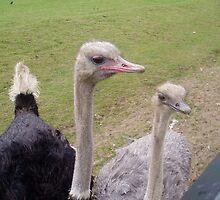 Grumpy Ostrich by jonnyspew