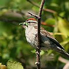 Sparrow with green worm  by Stephen Thomas