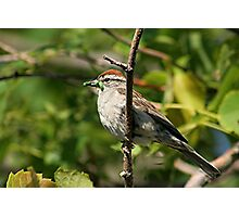 Sparrow with green worm  Photographic Print