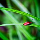 Scarlet lily beetle by Vicki Field