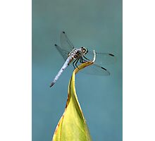 Blue Dasher Dragon Photographic Print