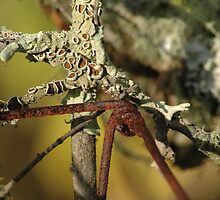 Lichen and Rust by Hippo