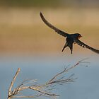 Flight of the Welcome Swallow by Stuart Cooney
