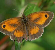 Gatekeeper Butterfly by cml16744
