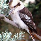 Kookaburra by Kristina K