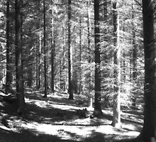 Pine Forest by forestphotos