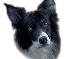 The Ever Faithful Border Collie by Chris Clark