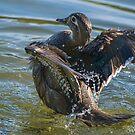 Female Wood Duck Bending Over Backwards by Gerda Grice