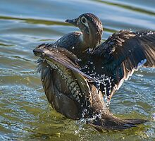Female Wood Duck Bending Over Backwards by Gerda Grice