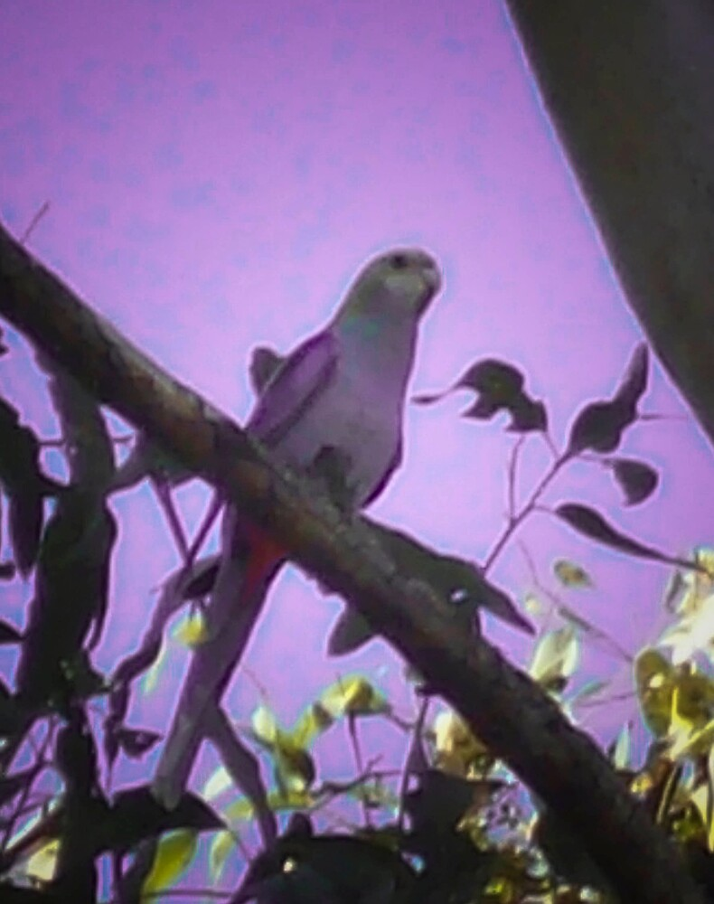 purple bird by footyman