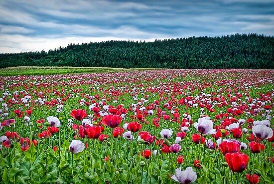 The field by Kurt  Tutschek