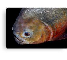 Red-bellied piranha Canvas Print